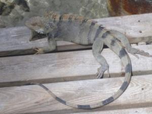 ubiquitous iguanas