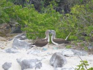 blue footed boobies courting