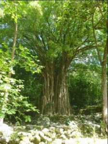 Banyan tree with stone remains