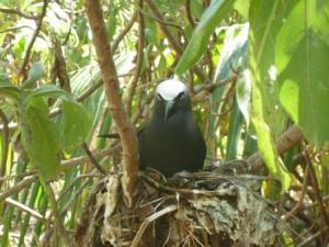 Bird island -bird-Noddy? Jeremy please comment!
