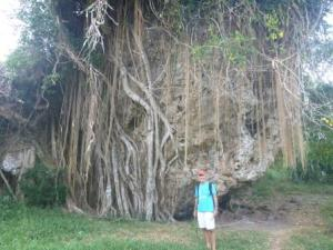 Banyan tree Erromango
