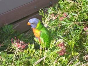 Rainbow Lorikeets abound in the area.